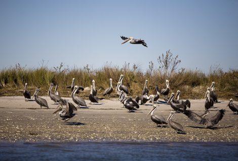 """""""Pelican Party"""" Coastal Art by EDA Surf"""