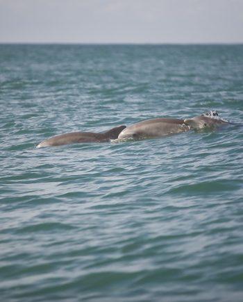 """Porpoises Pod"" Sea Life Art by EDA Surf"