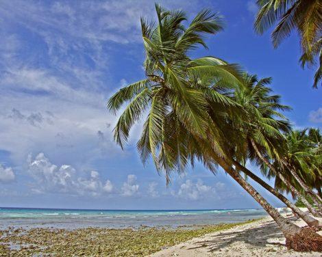 """""""Bajan Palms"""" Caribbean Art by EDA Surf."""