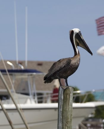 """American Pelican"" Coastal Art by EDA Surf"