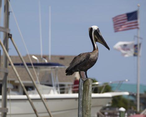 """""""American Pelican"""" Coastal Art by EDA Surf"""