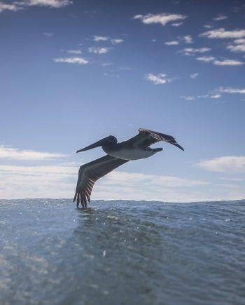 pelican sea life photography art